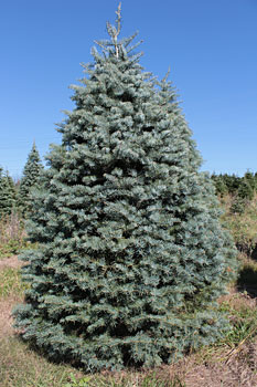 Concolor Fir NYC Christmas Tree