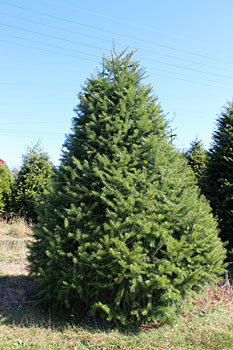 Douglas Fir Fresh cut Christmas tree delivered