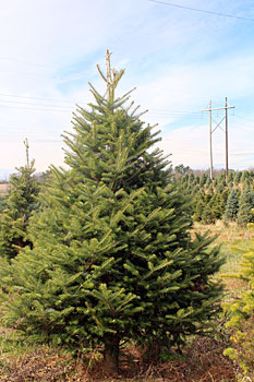 Nikko Fir Fresh Cut Trees Delivered