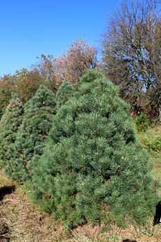 Scotch Pine Fresh-Cut Tree Delivery NYC